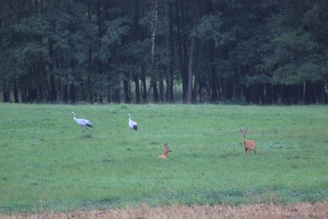 Gesehen am 2.9.2013 auf einem unmittelbar an das ausgewiesene Gebiet grenzenden Feld (zwei Graukraniche, zwei Rehe)